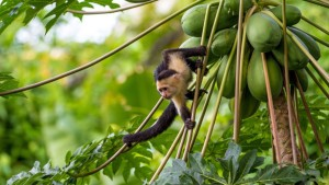 costarica_Capuchin Monkey